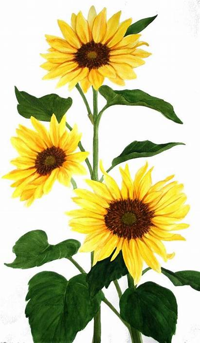 Sunflower Watercolor Sunflowers Flowers Yellow Painting Clipart