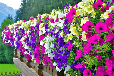 how to grow and care for petunia the garden