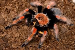 Common Pet Tarantulas