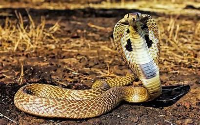 Cobra Snake Reptiles Animals Wallpapers King Desktop
