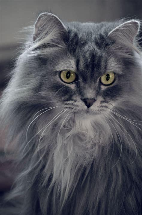 chat persan gris images gratuites noir et blanc vue animal de compagnie chat monochrome moustaches
