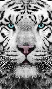 Gambar Macan Putih Marah | Semburat Warna