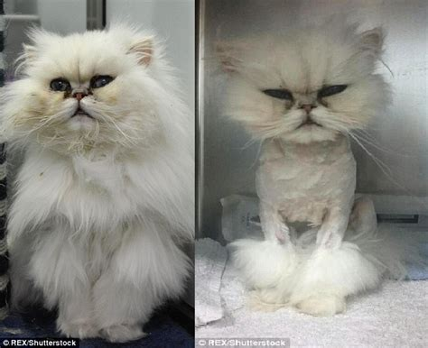 Severely Matted Persian Stray Cat Has White Fluffy Coat