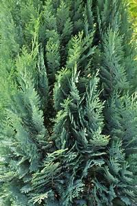 Immergrüne Hecke Ungiftig : leyland zypresse giftig pflanzen f r nassen boden ~ Eleganceandgraceweddings.com Haus und Dekorationen