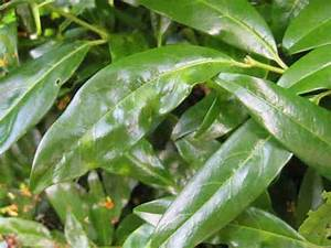 Kirschlorbeer Braune Blätter : hilfe was ist mit kirschlorbeer seite 1 pflanzendoktor mein sch ner garten online ~ Frokenaadalensverden.com Haus und Dekorationen