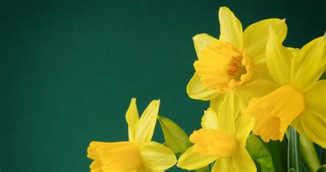 Daffodil Day | Days Of The Year