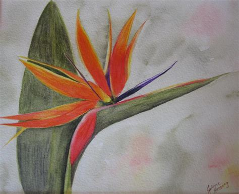 bird  paradise drawing  joanne hessong