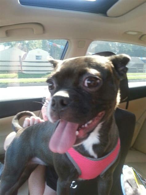 bochi dogs images  pinterest boston terriers