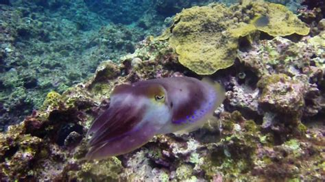 cuttlefish changing color cuttlefish colors