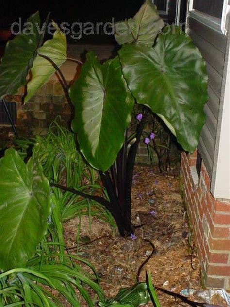 elephant ear stems plantfiles pictures violet stemmed taro black taro black stem elephant ear fontanesii