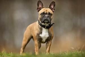 Hundebekleidung Französische Bulldogge : steckbrief franz sische bulldogge alles dog de ~ Frokenaadalensverden.com Haus und Dekorationen