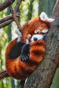 Sleepy Red Panda | Critters | Pinterest