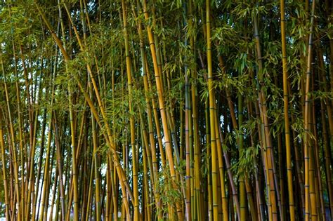 pictures of bamboo trees golden bamboo the tree center