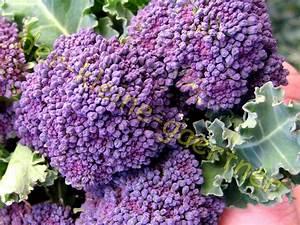 Brokkoli Samen Kaufen : brokkoli broccoli violett 25 samen blumenkohl kaufen auss en ~ Orissabook.com Haus und Dekorationen
