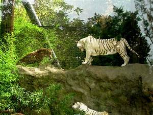 Tiger Vs Snow Leopard