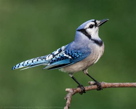 bluejay images google search bird america bluejay