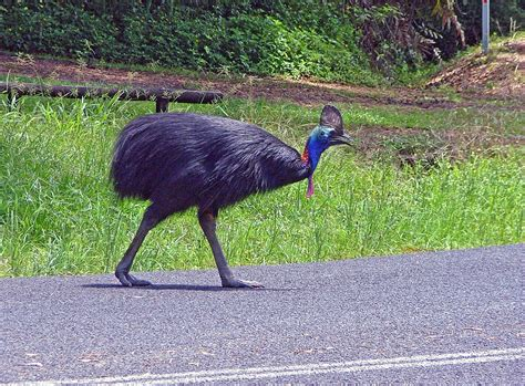 Tropical Rainforest Cassowary