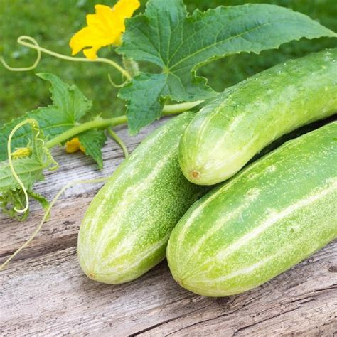 Cucumber Seeds by Cucumber Seeds Yield Ounce