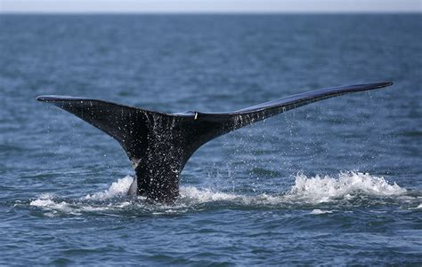 Atlantic Right Whale Diagram by White House Oks Seismic Tests That Could Harm Atlantic