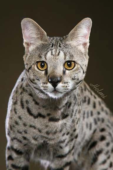 74 Best Images About Savannah Cats On Pinterest