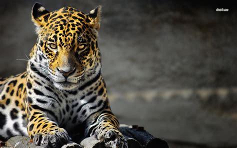jaguar wallpapers hd wallpapers pulse