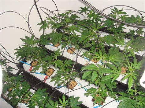 comment cultiver du cannabis en interieur comment cultiver du cannabis en coco du growshop alchimia