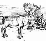 Elk Coloring Bull Winter sketch template