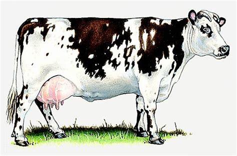 la cuisine de ricardo encyclopédie larousse en ligne vache de la race normande
