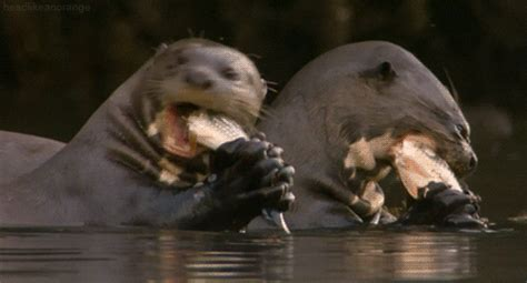 facts  otters