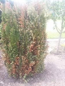 Lebensbaum Wird Braun : nadeln der blaue kegelzypresse werden braun was sind die ~ Lizthompson.info Haus und Dekorationen
