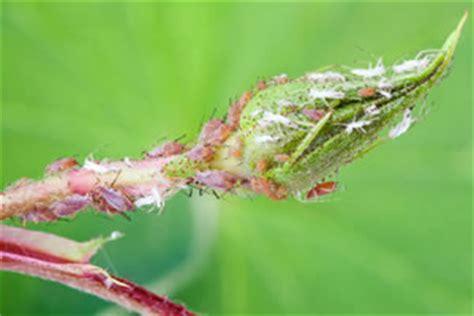 Zimmerpflanzen Und Gartenpflanzen Vom Blattlaus Befall Schuetzen by Spinnmilben An Zimmerpflanzen Bek 228 Mpfen