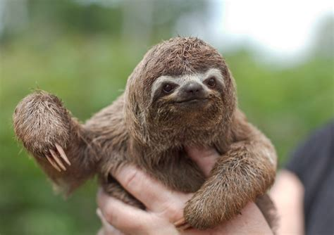 sloths as pets quot they make lousy pets quot wagbrag