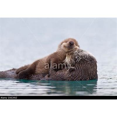 Female Sea otter with newborn pup riding on her stomach