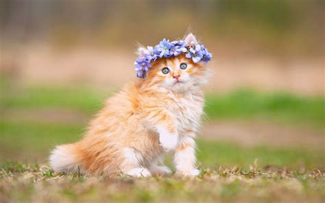 wallpaper cute kitten adorable hairband hd animals