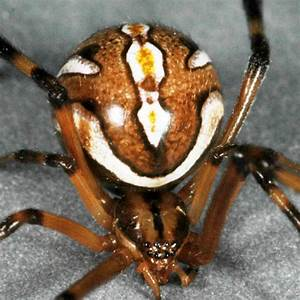 CISR: How to identify Brown Widow Spiders