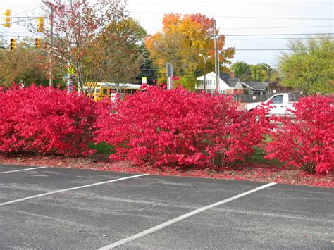 bright bush for landscaping bright red shrubs friesner herbarium blog about indiana plants