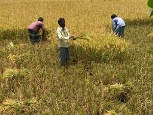 Harvesting Rice And Wheat In Bangladesh-manual