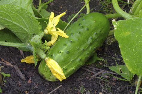Salatgurken Anbauen Im Eigenen Garten by Gurkenanbau Im Freiland