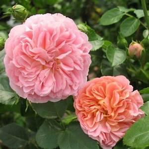 Rosier Grimpant Blanc : rosier grimpant 39 pirouette 39 plantes et jardins ~ Premium-room.com Idées de Décoration
