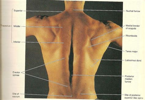They are located deep to the extrinsic muscles, being separated from them by the the main function of this muscle is to elevate the scapula, just like its name suggests. Strength Exercise for Back Muscles Picture: Surface ...