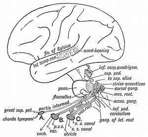 Hearing - Neural Pathway