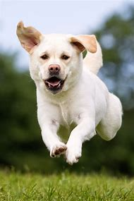 Labrador White Lab Puppies
