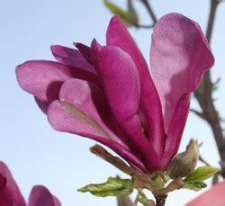 Klein Bleibende Bäume by Kleinbleibende Magnolien F 252 R Ihren Garten