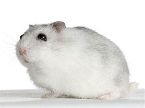 hamster guide complet achat alimentation sant 233
