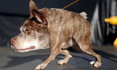 world s ugliest dog contest winners news watch