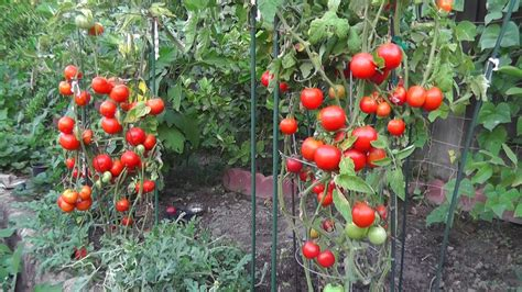gardening tomatoes grow tomatoes not foliage youtube