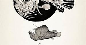Angler Fish Skeleton - Scientific Anatomy Drawing - 8x10 ...