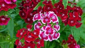 Oeillet De Poete : oeillet de po te le bouquet parfait ~ Melissatoandfro.com Idées de Décoration