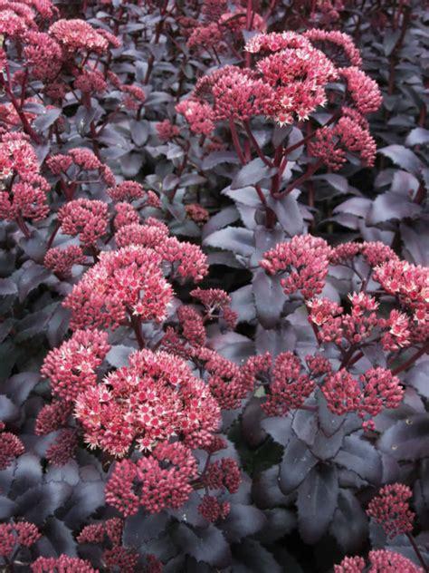 hylotelephium telephium purple emperor world  succulents