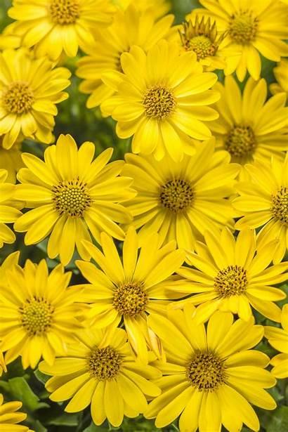 Yellow Bright Osteospermum Lights Daisy African Plants